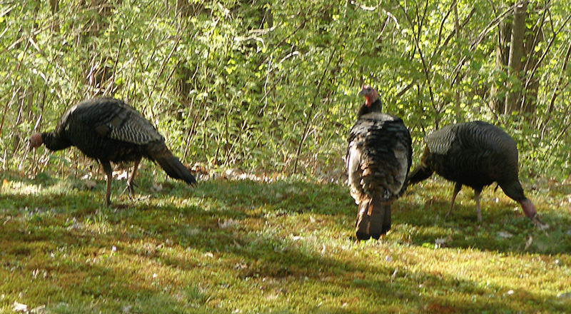 05-30-08-turkeys-04