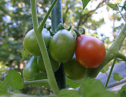 08-30-08-plum-tomato