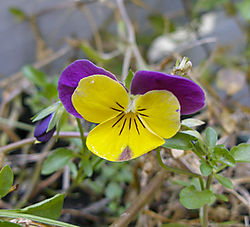08-31-08-pansy-01