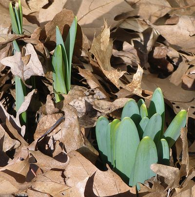 3-15-daffodils-tips-01w