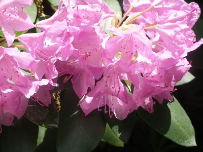 06-08-09-rhododendron-01w