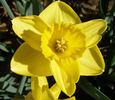 4-4-10-daffodil-02