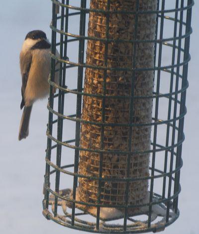 12-16-10-snow-chickadee