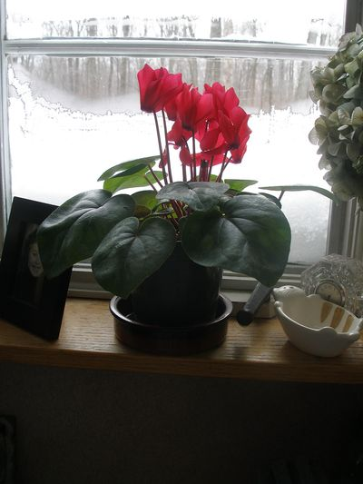 Cyclamen-01-windowsill-w