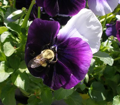 Pansy&bee-01