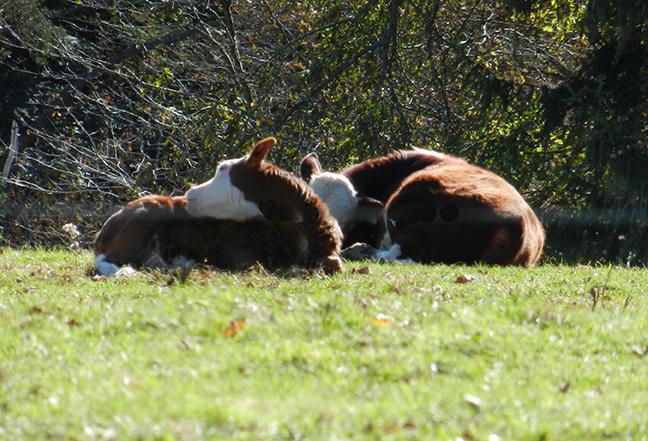 Tiny cows