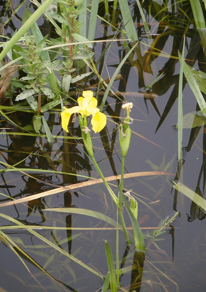2011-June-WMNP-yellow-iris