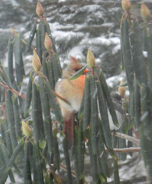 Cardinal-rhody-snow