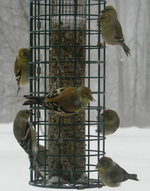Goldfinch-in-snow