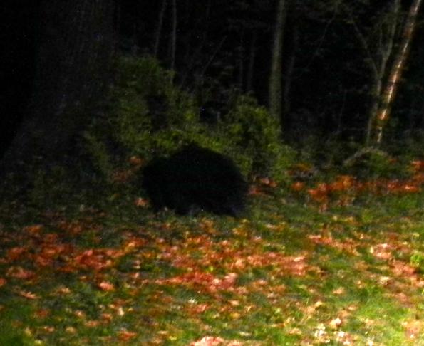 Bear-cub-01