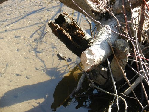 WMNP-3-7-12-02-beaver-branch