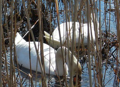 Nesting-swans-wmnp-mar12