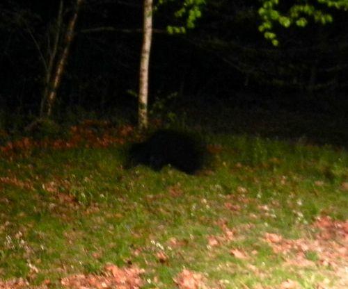 Bear-cub-03