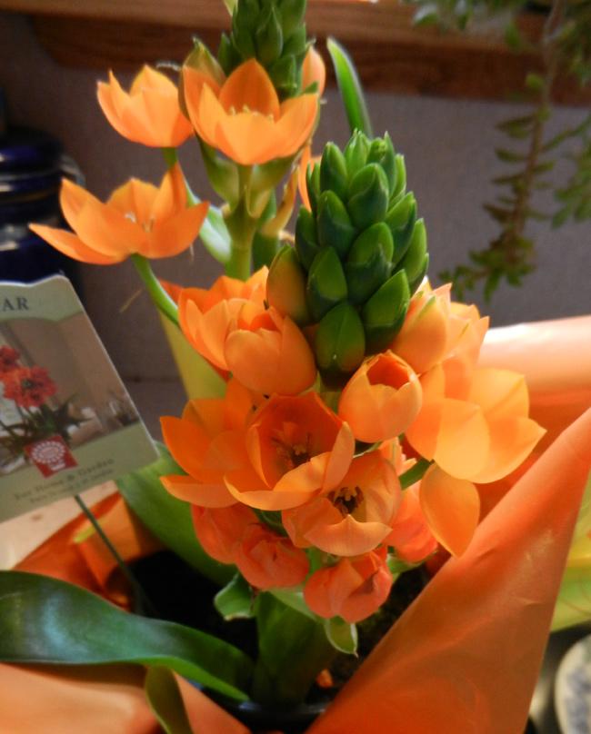 Orange-plant-mom's-day-01