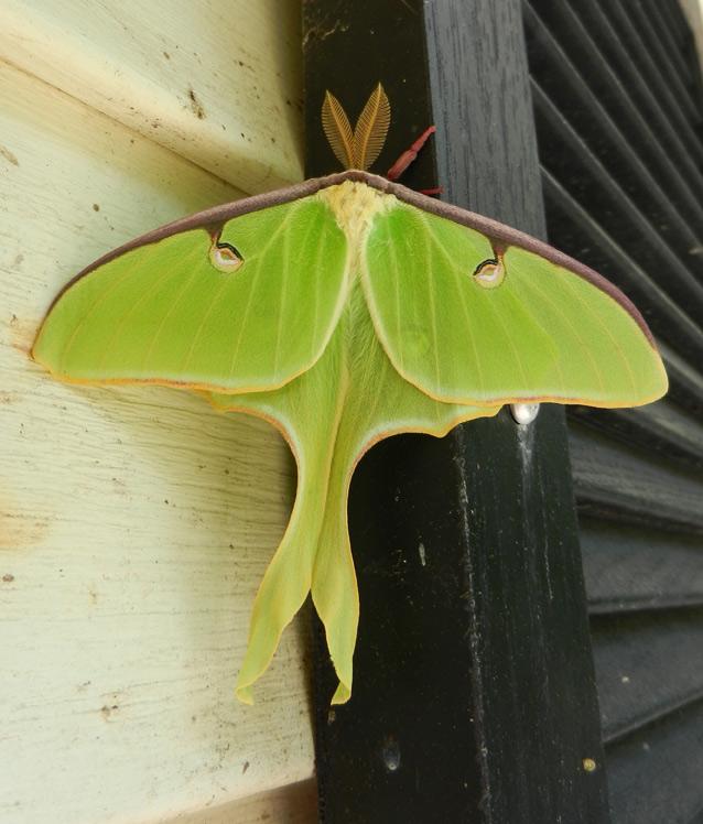 Luna-moth-01