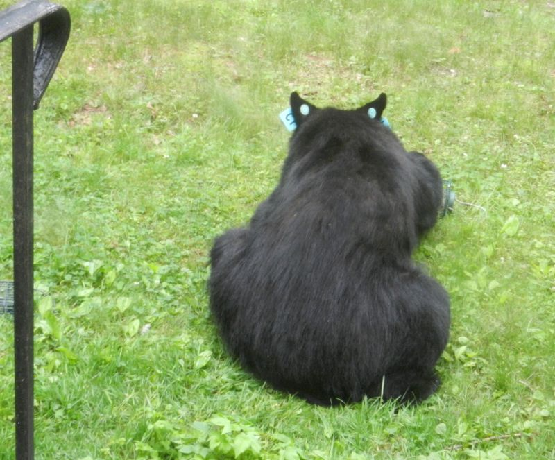 Bear-in-our-front-yd