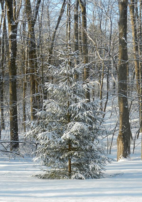 Pine-tree-snow
