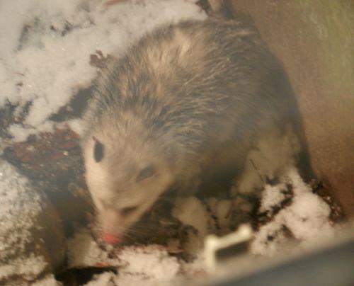 Possum-feb-13