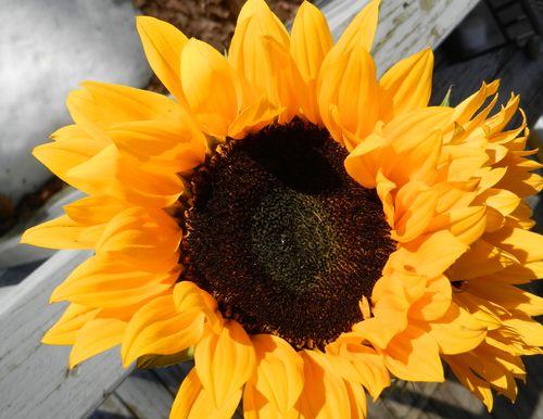 Sunflowers&snow-2-13